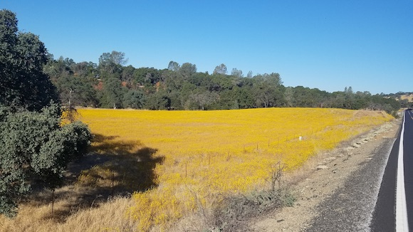 Field of tarweed along Highway 49 just north of Mariposa
