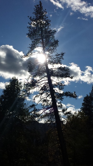 Pine Tree, clouds and sun